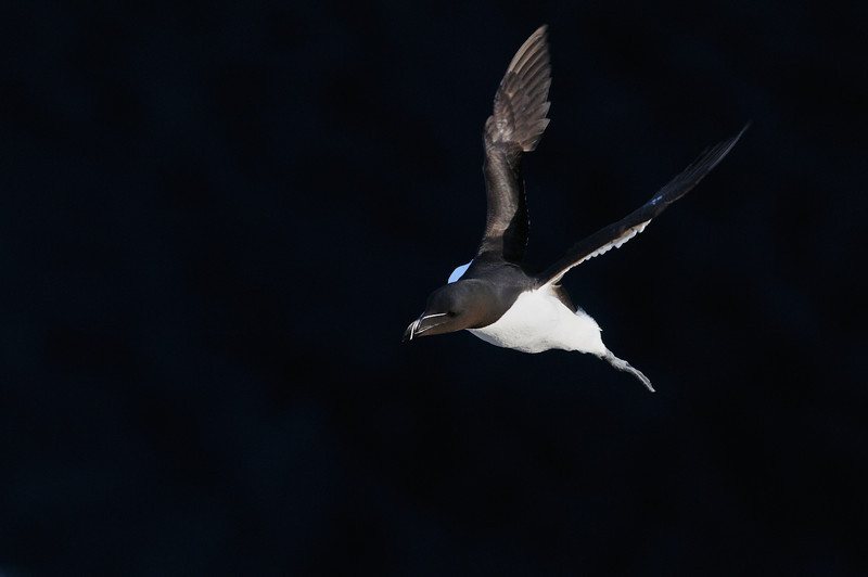 Razorbill landing at a breeding colony.