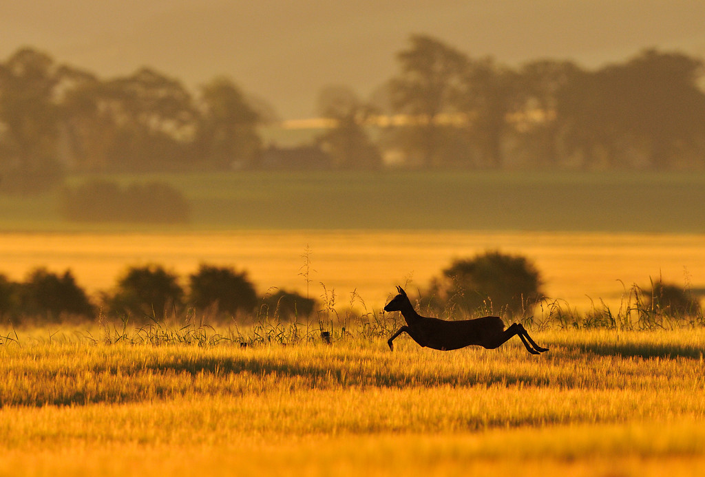 Roe Deer running through an arable field at dawn.