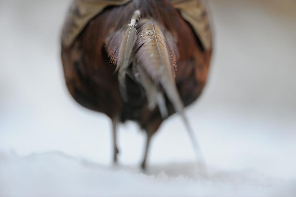 Pheasants tail.