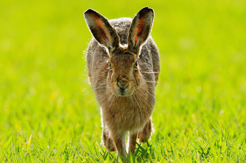 Brown Hare.