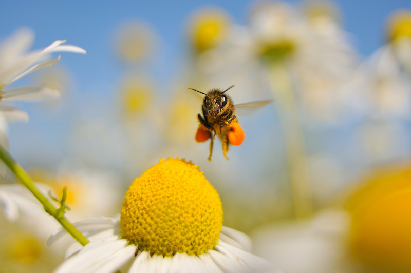 European Honey Bee landing on Scentless Mayweed