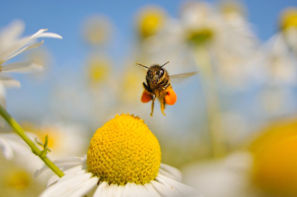 European Honey Bee landing on Scentless Mayweed