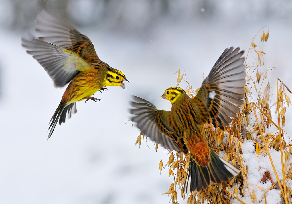 Clash of the Yellowhammers