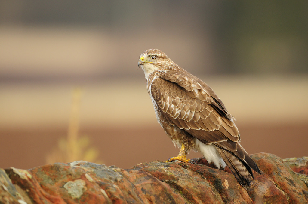 Common Buzzard on a Dyke.