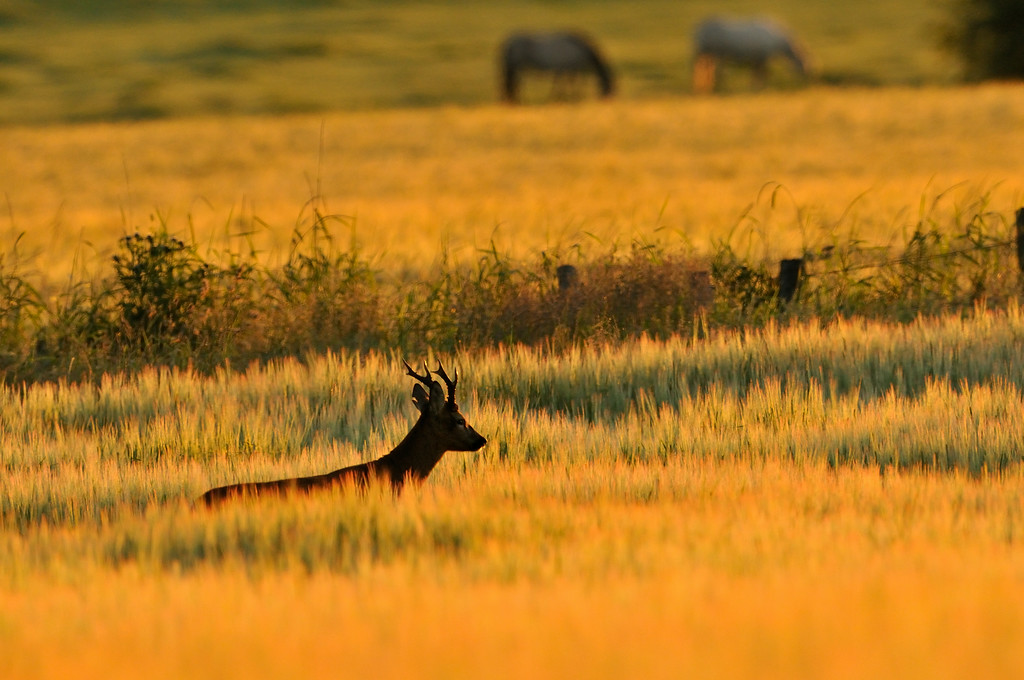Roe Buck and horses at Dawn.
