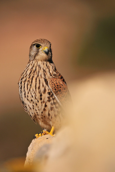 Kestrel perching on a Wall.