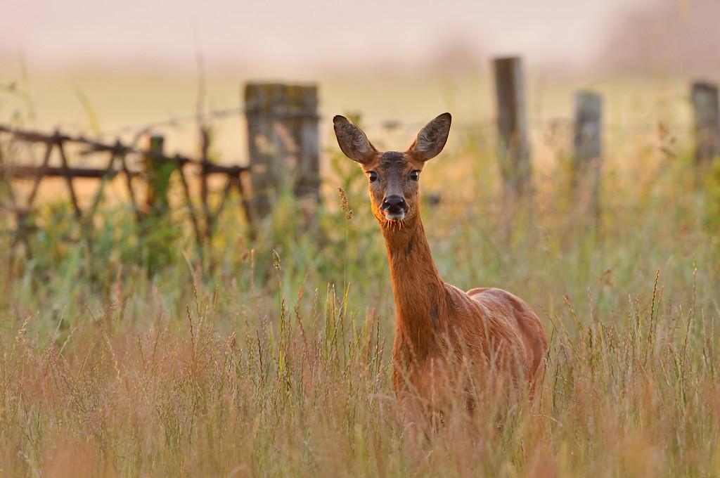 Roe Deer at dawn.