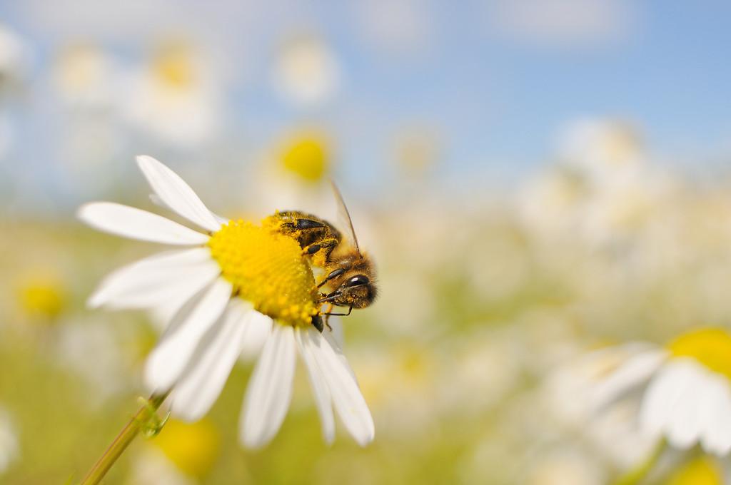 European Honey Bee.