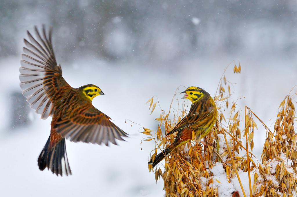 Yellowhammers at a Sheaf of Oats.