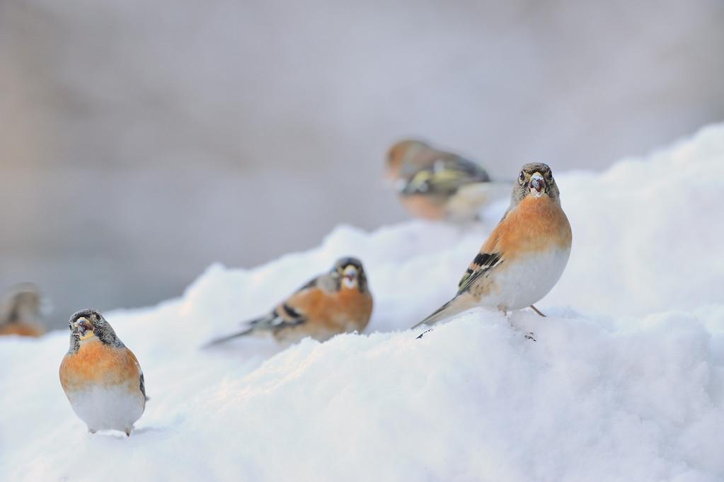A flock of Bramblings.