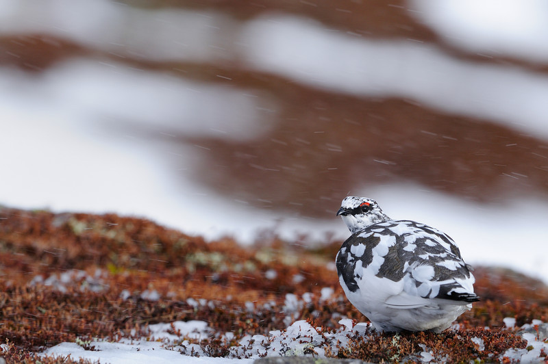 Ptarmigan in Snow Storm.