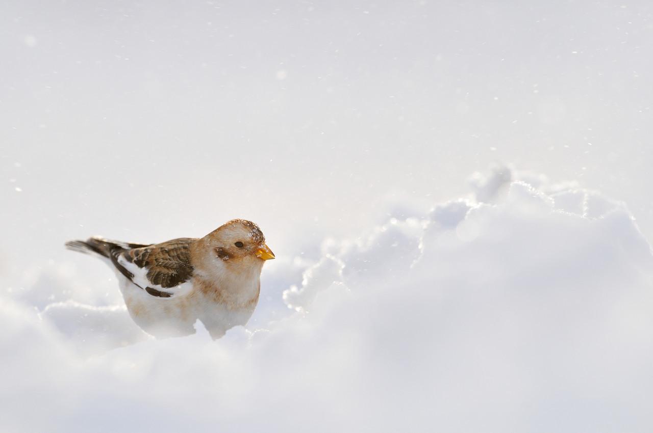 Snow Bunting.