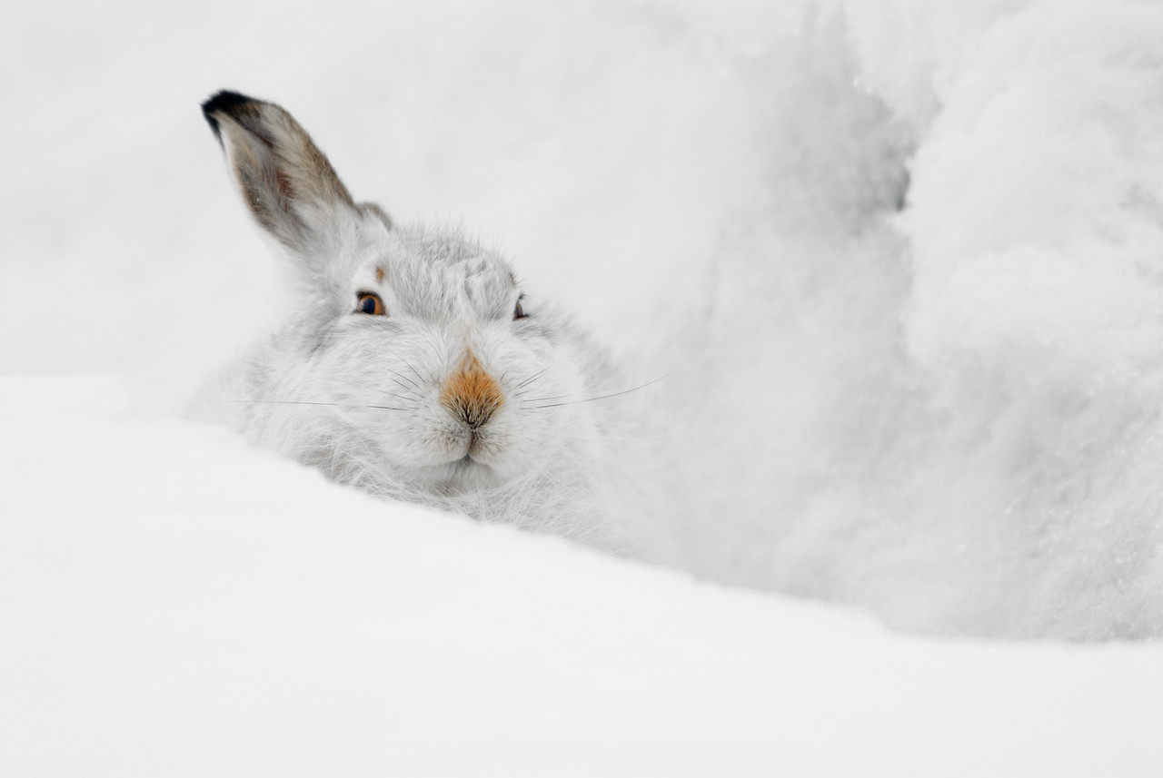 Mountain Hare Portrait.
