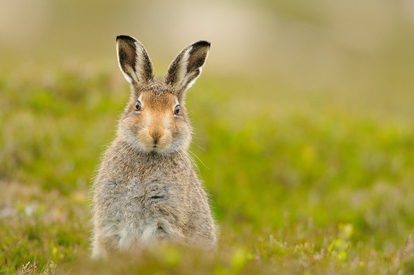 Mountain Hare in mid summer.