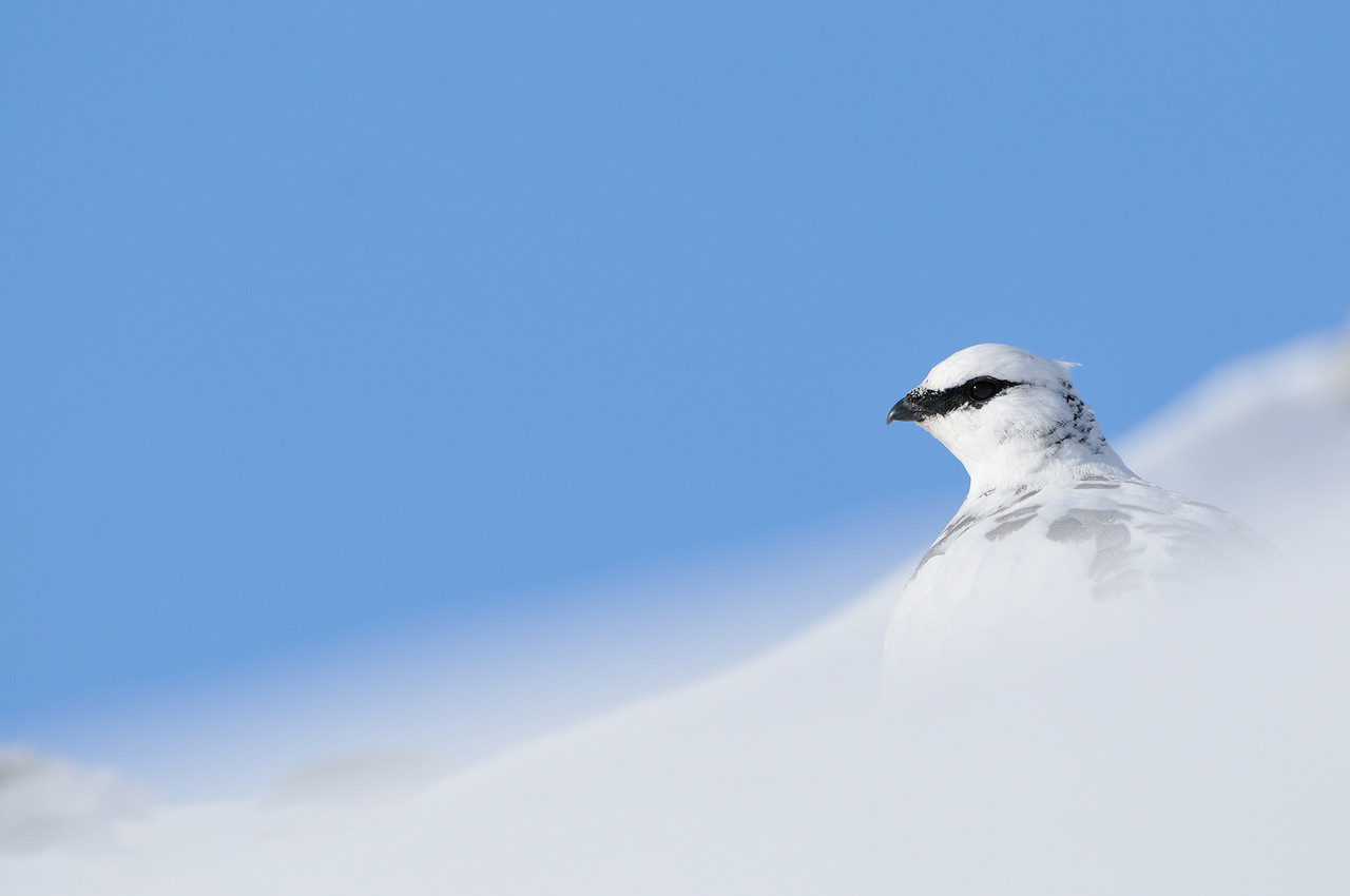 Ptarmigan in winter.