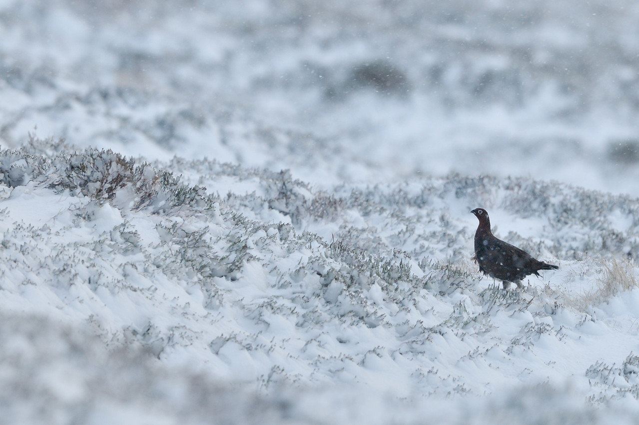 Red Grouse in Winter.