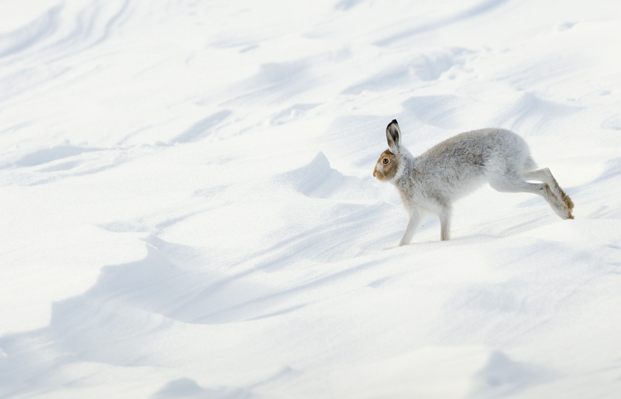 Mountain Hare running over a windswept snowfield.