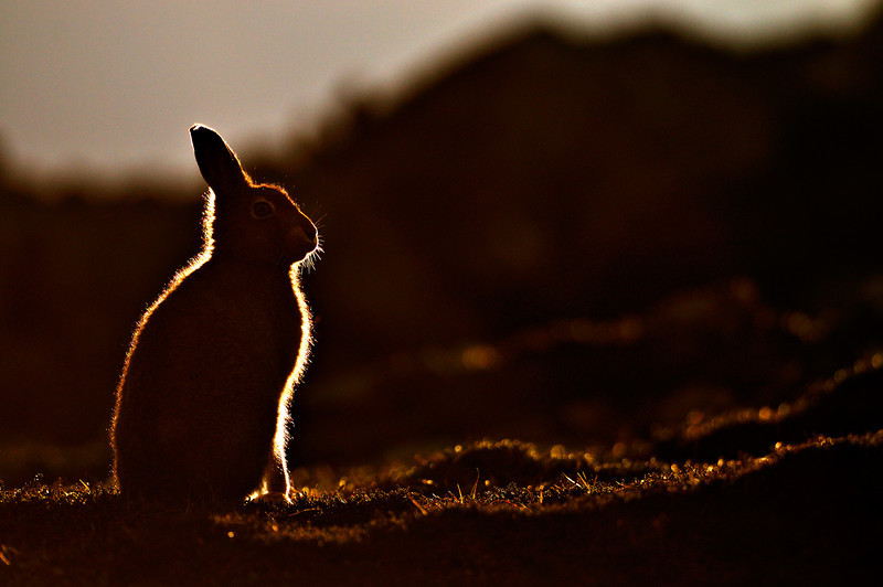 Backlit Mountain Hare.
