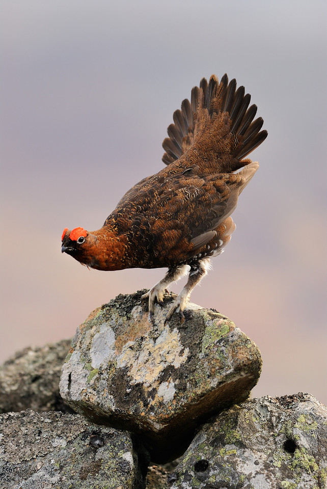 Cock Red Grouse Displaying.