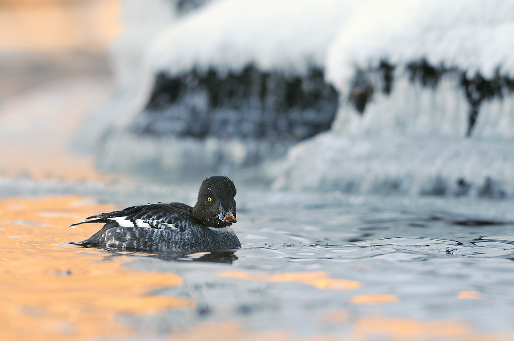 Goldeneye on the Frozen River Tay.
