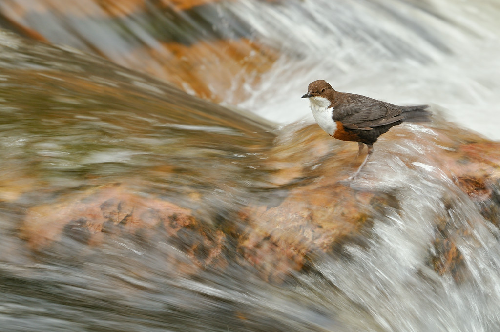 Dipper perching in a fast flowing stream.