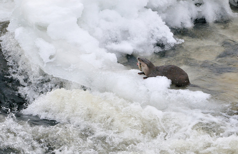 Otter on Frozen River Tay