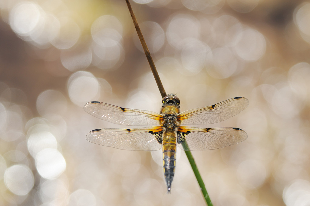 Four-spotted Chaser.