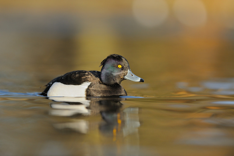 Tufted Duck in afternoon light.