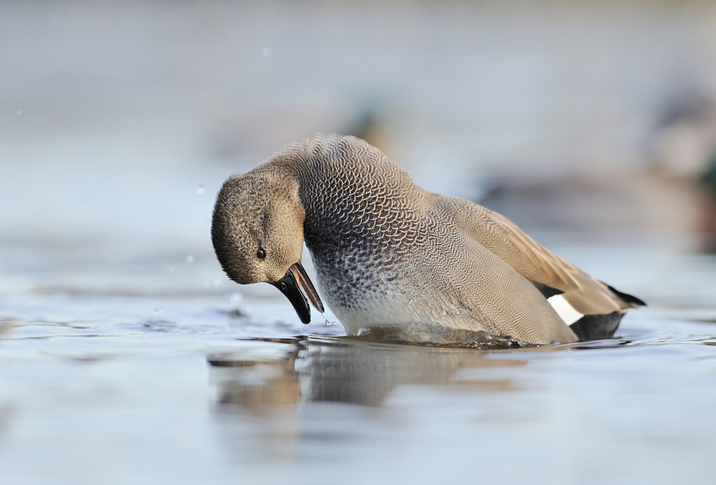 Male Gadwall displaying.