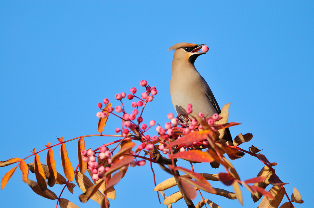 Autumn Waxwing.