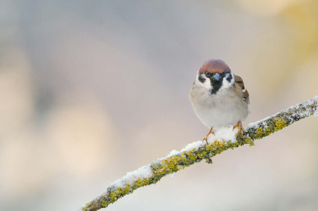 Tree Sparrow in afternoon light.