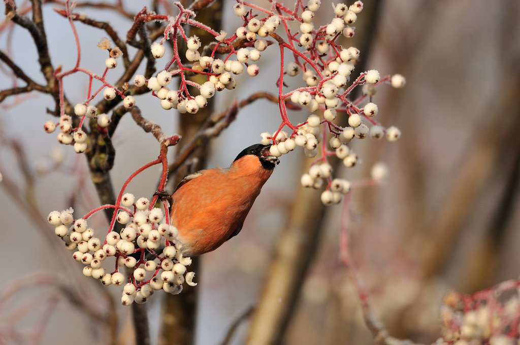 Bullfinch Feeding on Frozen Berries.
