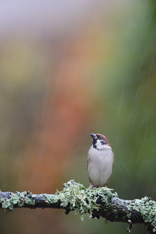 Tree Sparrow perching on a lichen covered branch in the rain.