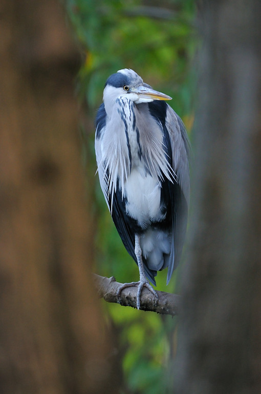 Grey Heron, Glasgow.