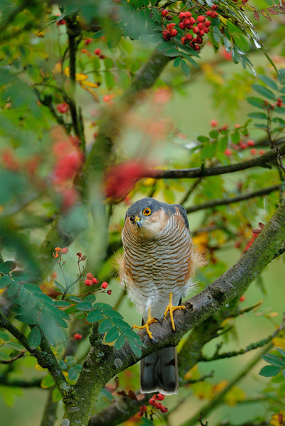 Sparrowhawk Stare.
