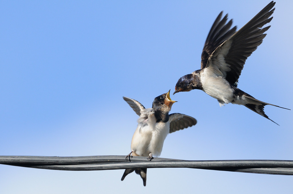 Swallow Feeding a Fledgling