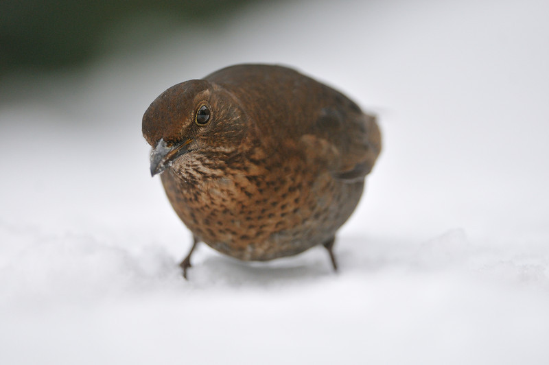 Female blackbird foraging amongst the snow.
