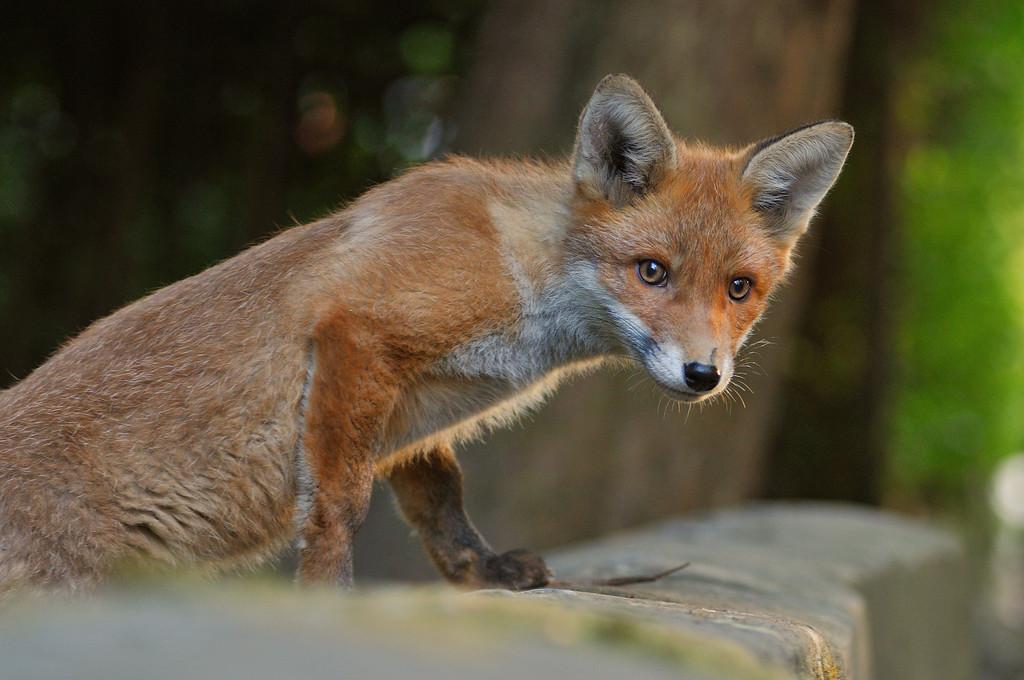 Red Fox cub.