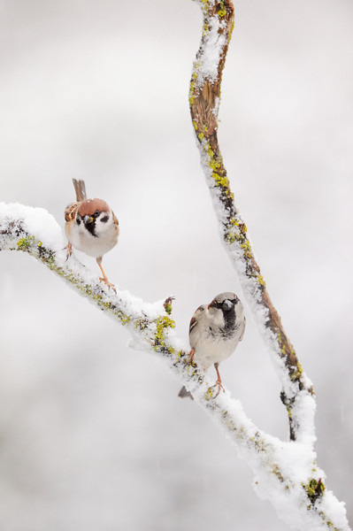 Tree Sparrow and male House Sparrow.