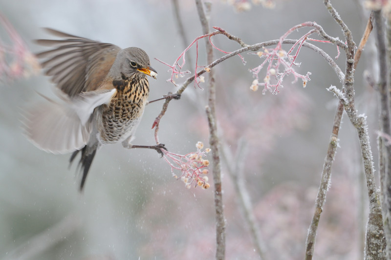 Fieldfare on a Frozen Rowan.