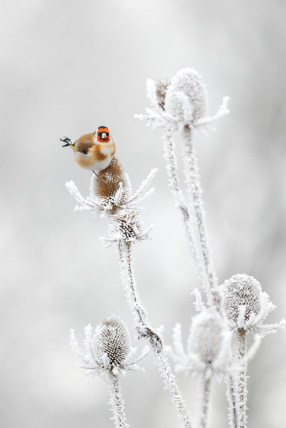 Goldfinch Feeding on Frozen Teasles.