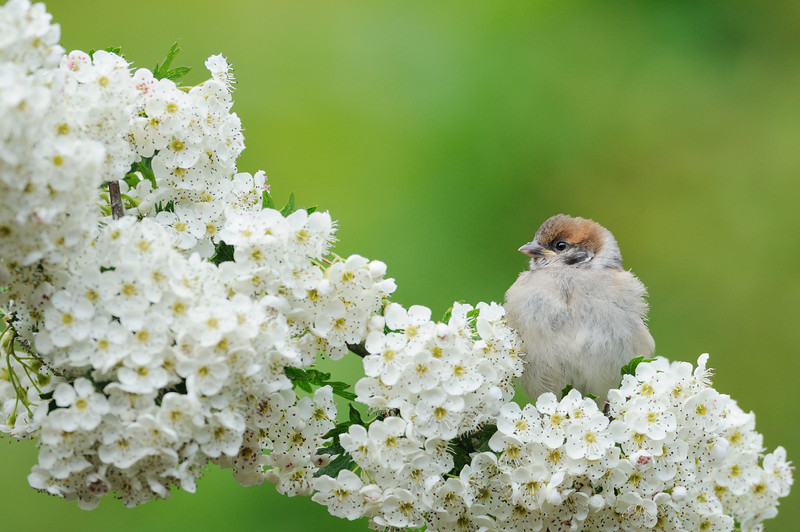 Fledgling Tree Sparrow amongst hawthorn blossom.