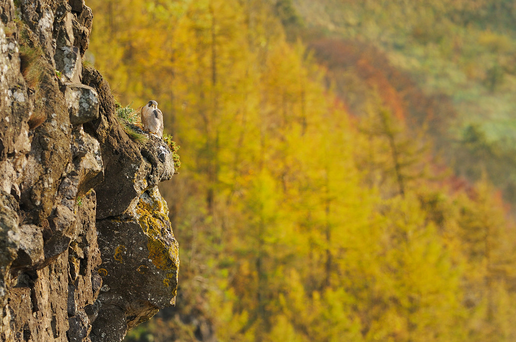 Peregrine Falcon and Autumn Woodland