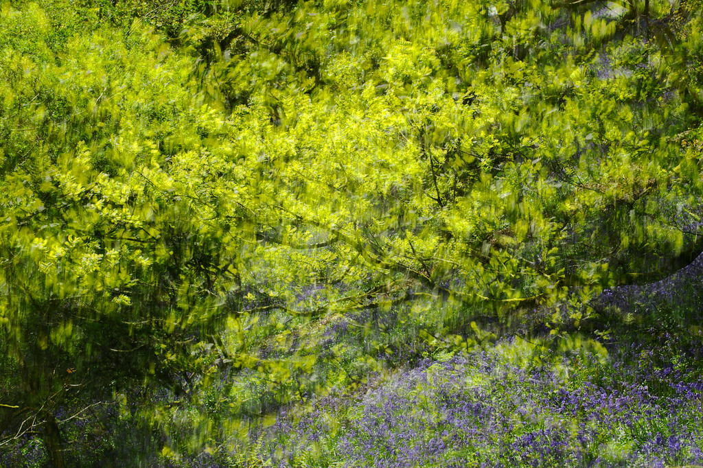 Abstract Bluebell Woodland.
