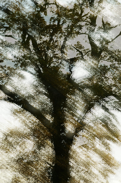 Abstract Oak Tree.
