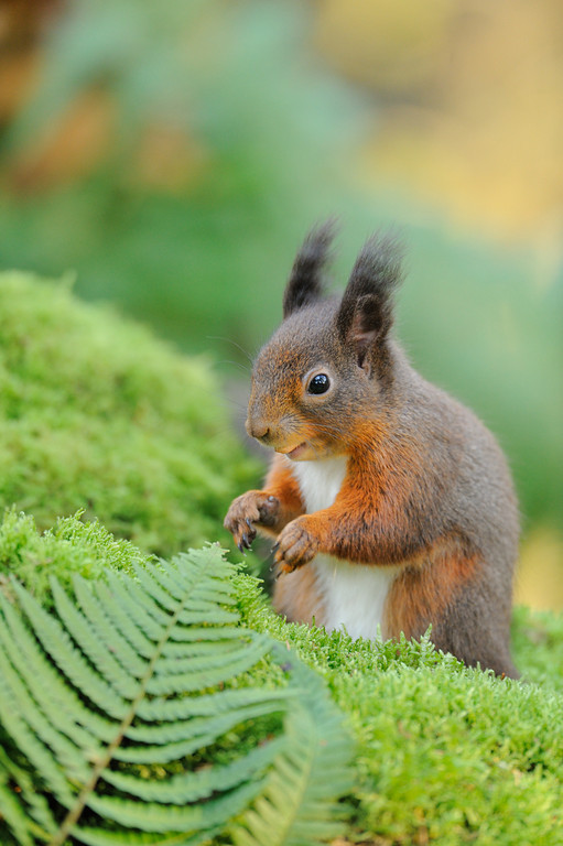 Red Squirrel foraging on a woodland floor.