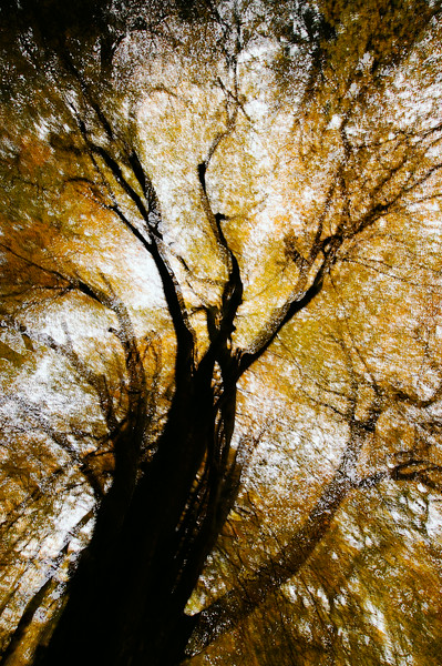 Abstract Beech Woodland.