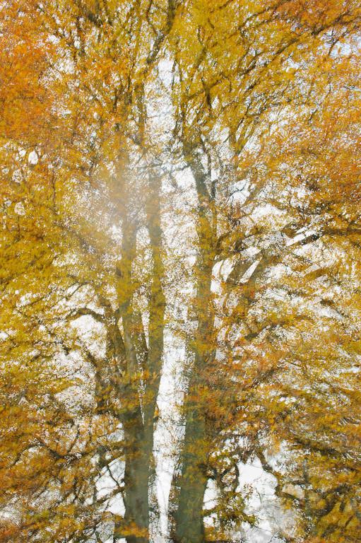Abstract Beech Tree.