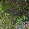 Asplenium trichomanes- Maidenhair Spleenwort