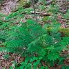 Athyrium thelypteroides- Silvery Glade Fern